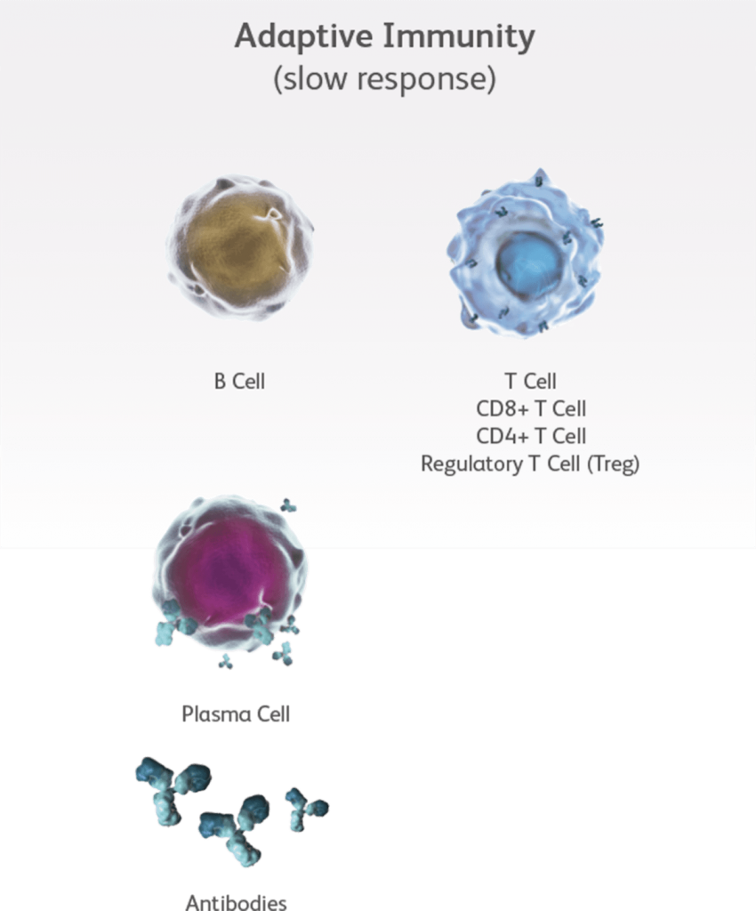 Figure of cells that comprise innate immunity and adaptive immunity