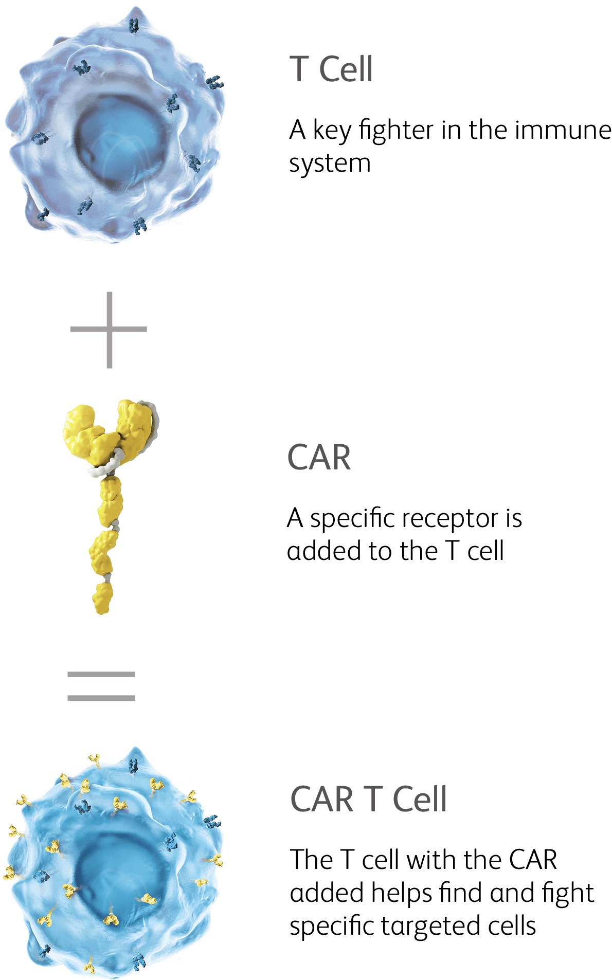 Figure that summarizes how a CAR is developed: T Cell + CAR = CAR T Cell