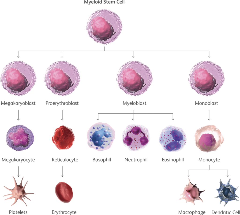 Figure showing myeloid and lymphoid stem cell division