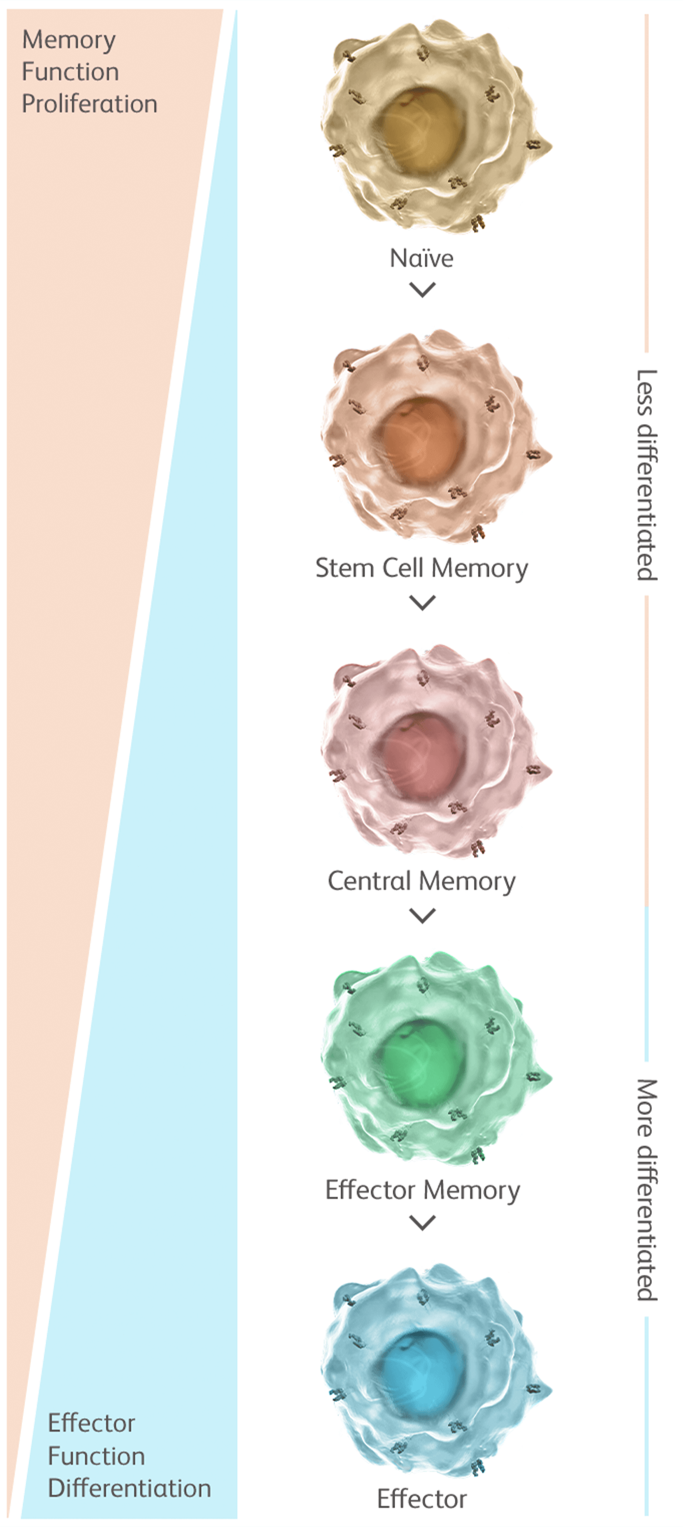 Figure that shows how less differentiated T cells have the proliferative potential needed for long-term persistence