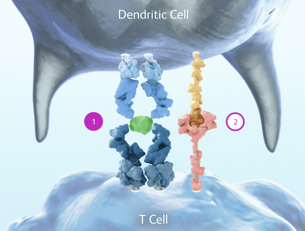 Figure of dendritic cell with T cell activation signal and co-stimulatory signal